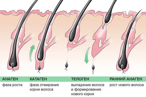 Стадия телогена волос